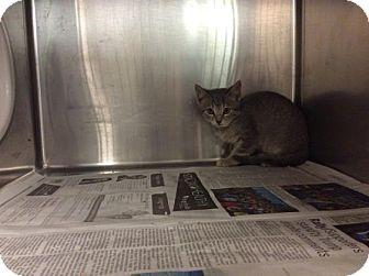 Domestic Shorthair Kitten for adoption in Janesville, Wisconsin - Romesco