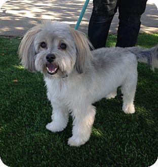 Havanese Dog for adoption in Temecula, California - Ozzie