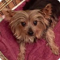 Yorkie, Yorkshire Terrier Mix Dog for adoption in Houston, Texas - Tinkerbelle