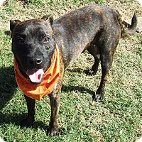 Adopt A Pet :: Bear - Watauga, TX