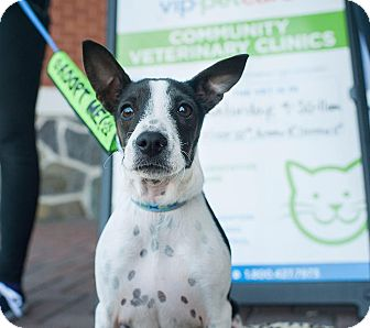 Rat Terrier/Feist Mix Puppy for adoption in North Haledon, New Jersey - Daisy