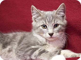 American Shorthair Kitten for adoption in Sioux Falls, South Dakota - Hank