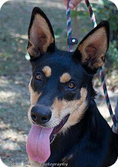 Doberman Pinscher/Husky Mix Dog for adoption in Daleville, Alabama - Sheeba
