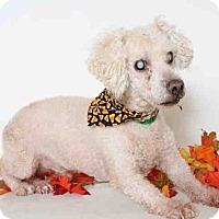 Adopt A Pet :: A1664305 is at North Central - Beverly Hills, CA