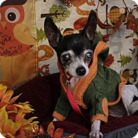 Chihuahua Mix Dog for adoption in San Antonio, Texas - Phyllis