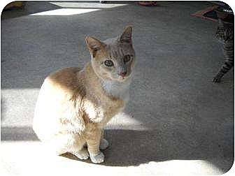 Domestic Shorthair Cat for adoption in Iroquois, Illinois - Butterscotch