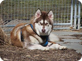 Alaskan Malamute Dog for adoption in Belleville, Michigan - Lucy--PENDING!