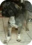 Schnauzer (Miniature)/Terrier (Unknown Type, Medium) Mix Dog for adoption in Justin, Texas - Chase
