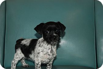 Shih Tzu/Schnauzer (Miniature) Mix Puppy for adoption in Harrisburgh, Pennsylvania - Mayla
