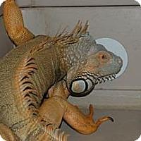 Adopt A Pet :: Iguanas - Brooklyn, NY