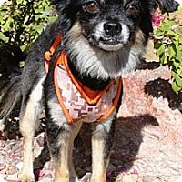 Adopt A Pet :: Zillo - Gilbert, AZ