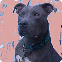 Adopt A Pet :: Blue - Morriston, FL