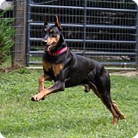 Adopt A Pet :: Armani - Greensboro, NC