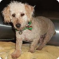 Adopt A Pet :: Misty - Memphis, TN