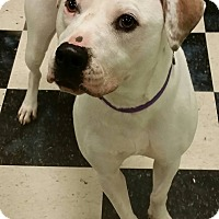 American Pit Bull Terrier Mix Dog for adoption in Struthers, Ohio - Pixie 2 YRS OLD