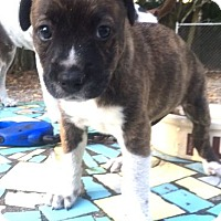 Adopt A Pet :: Holly - MIAMI, FL