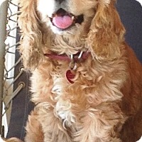 Adopt A Pet :: Angel - Santa Barbara, CA