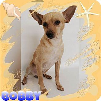 Terrier (Unknown Type, Small)/Miniature Pinscher Mix Dog for adoption in DELANO, California - BOBBY