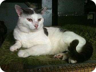 American Shorthair Cat for adoption in Ephrata, Pennsylvania - Cowboy Keith - 3 years in foster care