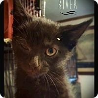 Domestic Shorthair Cat for adoption in Hartford City, Indiana - River