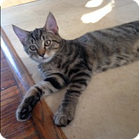 Domestic Shorthair Kitten for adoption in Cleveland, Ohio - Shakespeare