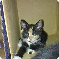 Domestic Shorthair Kitten for adoption in Carlisle, Pennsylvania - Belle
