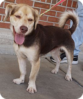 Beagle Mix Dog for adoption in Houston, Texas - Halston
