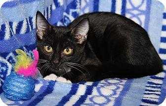 Domestic Shorthair Cat for adoption in Marietta, Ohio - Paris (Purrty Girl's Kitten)