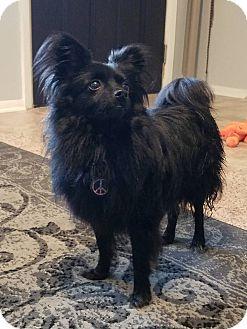 Pomeranian Dog for adoption in Norman, Oklahoma - Fifi