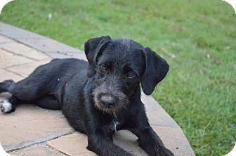 Labrador Retriever/Schnauzer (Standard) Mix Puppy for adoption in Manchester, New Hampshire - Marie - pending