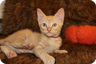 Domestic Mediumhair Kitten for adoption in Palo Alto, California - Thanksgiving: Pumpkin Pie