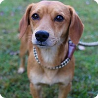 Chihuahua/Dachshund Mix Puppy for adoption in Chester Springs, Pennsylvania - Jack