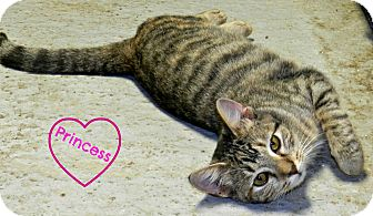 Domestic Shorthair Cat for adoption in Lawrenceburg, Tennessee - Princess