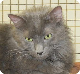Domestic Mediumhair Cat for adoption in Woodstock, Illinois - Ashes