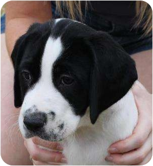 American Bulldog/German Shorthaired Pointer Mix Puppy for adoption in Mesa, Arizona - Dirk