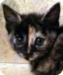 British Shorthair Kitten for adoption in Denton, Texas - Juliet