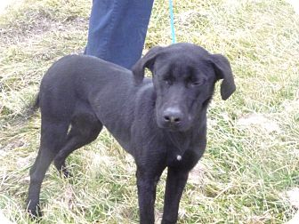 Labrador Retriever Mix Dog for adoption in Zanesville, Ohio - # 531-12 @ Animal Shelter