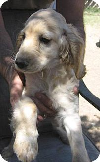Cocker Spaniel/Dachshund Mix Puppy for adoption in Phoenix, Arizona - Sandy