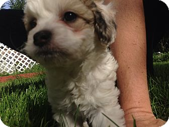 rat terrier poodle mix huey adopted puppy madison heights mi poodle 5749