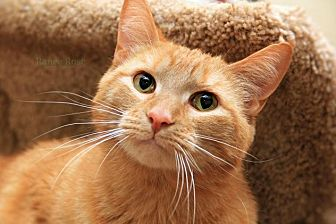 Domestic Shorthair Cat for adoption in Sterling Heights, Michigan - Fred- FIV+