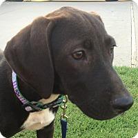 Adopt A Pet :: *Daisy - PENDING - Westport, CT
