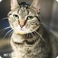 Adopt A Pet :: Mittens - Appleton, WI
