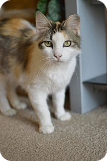 Domestic Shorthair Cat for adoption in Houston, Texas - Pinta