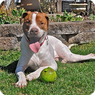 Hound (Unknown Type)/Pit Bull Terrier Mix Dog for adoption in Dearborn, Michigan - Cupid