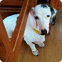 Adopt A Pet :: Sabrina - Andalusia, PA