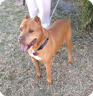 Pit Bull Terrier Mix Dog for adoption in Lubbock, Texas - Blaze