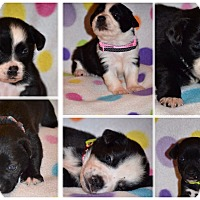 Adopt A Pet :: 6 puppies (5M 1F) - Albemarle, NC