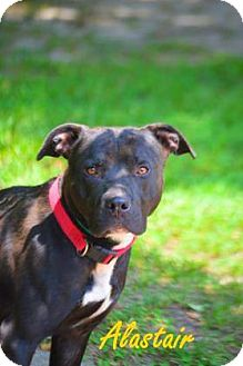 American Staffordshire Terrier Mix Dog for adoption in Golsboro, North Carolina - ROSCOE