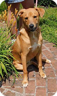 Labrador Retriever/Shepherd (Unknown Type) Mix Dog for adoption in Zanesville, Ohio - 45409  Cell Dog Graduate Ranger
