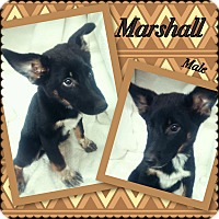 Adopt A Pet :: Marshall -pending adoption - Manchester, CT